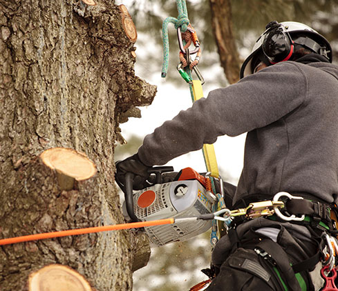 Mo & Sons Tree Care employee cutting a tree down
